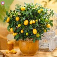 40pcs Kumquat seeds mini orange tree bonsai fruit seeds Indoor perennial plants potted for home garden sementes best packaging