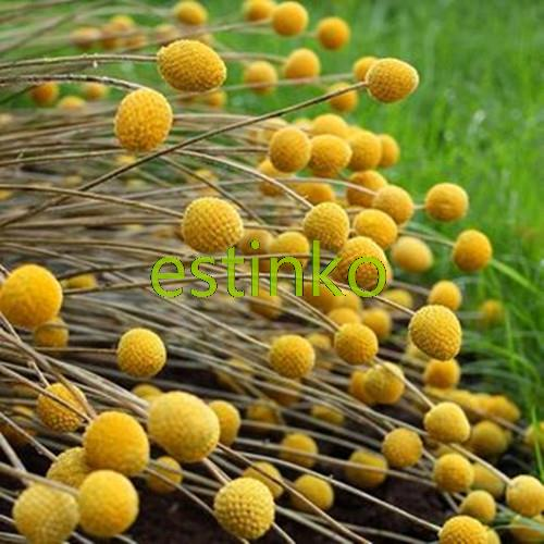 Achetez en gros craspedia fleur en ligne des grossistes craspedia fleur chinois aliexpress - Grossiste fleurs coupees pour particulier ...