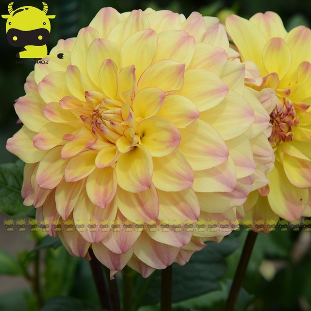 20 pcs perennial flowers garden yellow dahlias with pink edge flower 20 pcs perennial flowers garden yellow dahlias with pink edge flower seeds balcony potted mightylinksfo