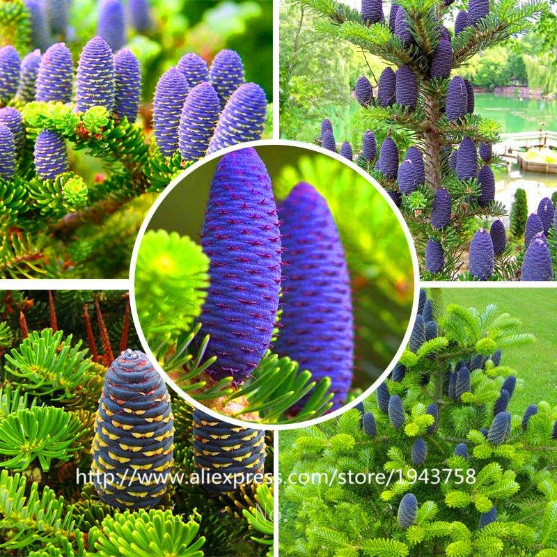 Шт. 50 шт. Abies, Корейская ель, пихта нордманна (Рождественская елка, хвойный) дерево. Дом Сад бонсай растения и цветы