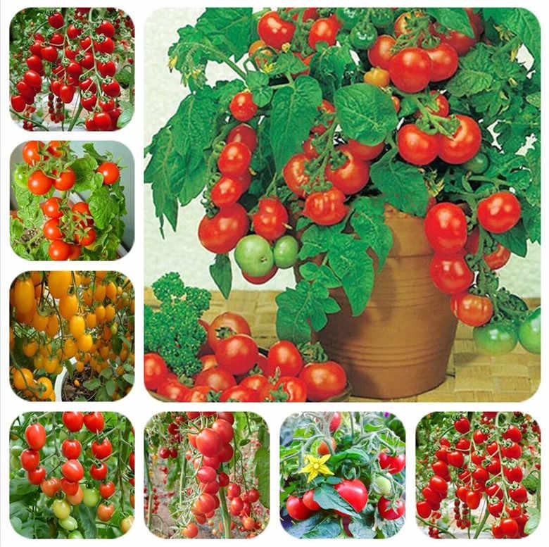 1000 pçs/saco bonsai tomate, tomate delicioso misturado, não-OGM vegetais comestíveis varanda vasos de plantas de jardim frete grátis