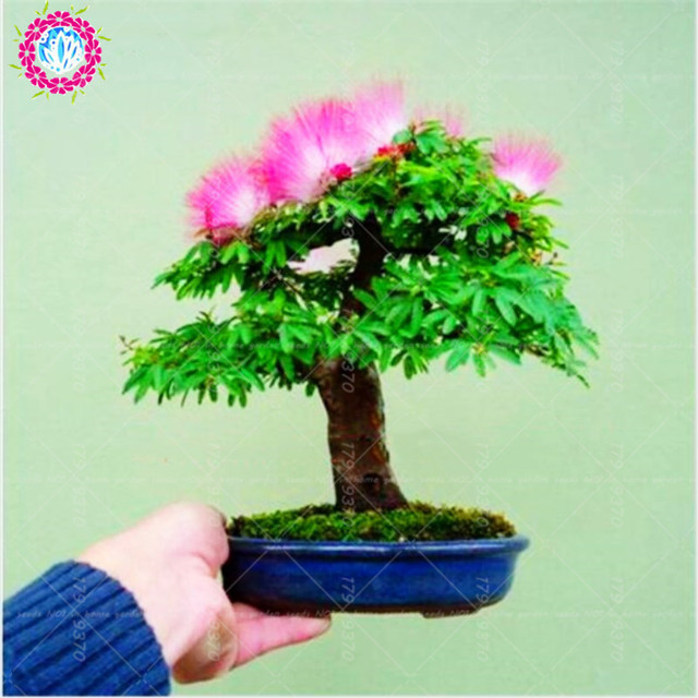 50seeds/bag Rainbow Albizia Julibrissin,acacia Tree ,bonsai Beautiful  Flower ,tree Pot