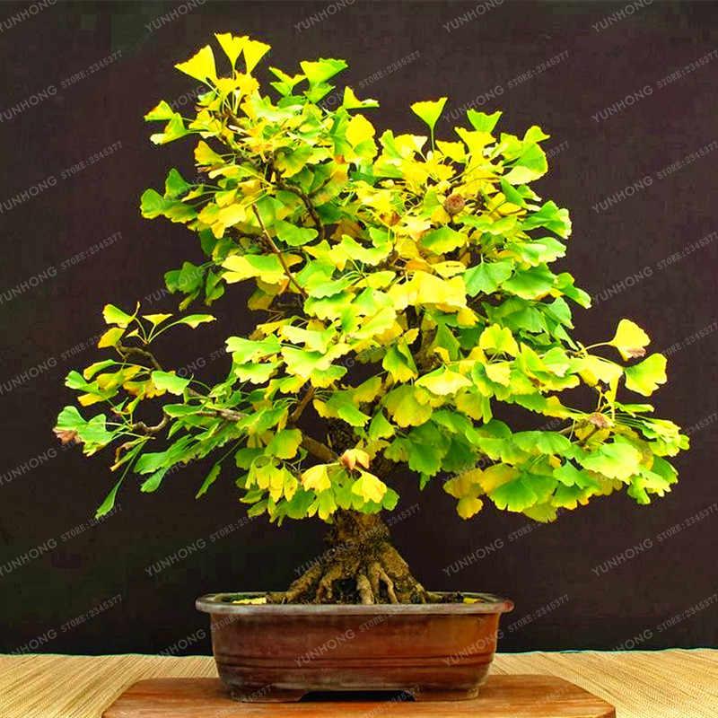5 Pcs Heirloom Organic Ginkgo Biloba Gingko Maidenhair Tree Bonsai ถั่ว Bonsai Tree Grown จากบอนไซหม้อสำหรับ Home สวน
