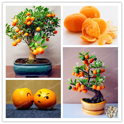 Hot Sale 30 /Bag Bonsai Orange Tree Seeds Organic Fruit Tree Seeds Bonsai Tree Balcony Patio Potted Fruit Trees Very Delicious