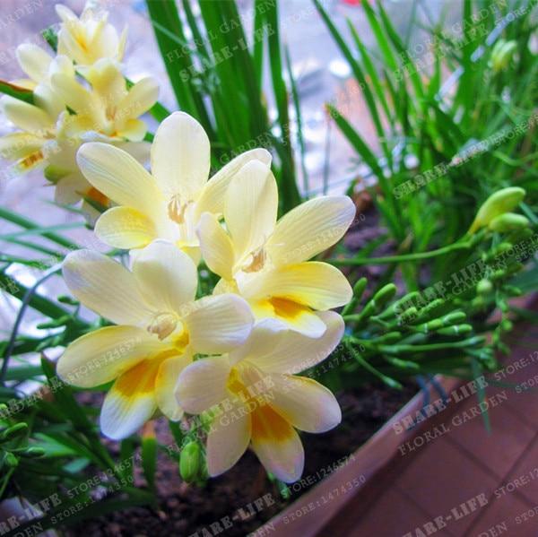 Flowers Orchids Freesia Bulbs White Freesia Flowers Freesia Flowers