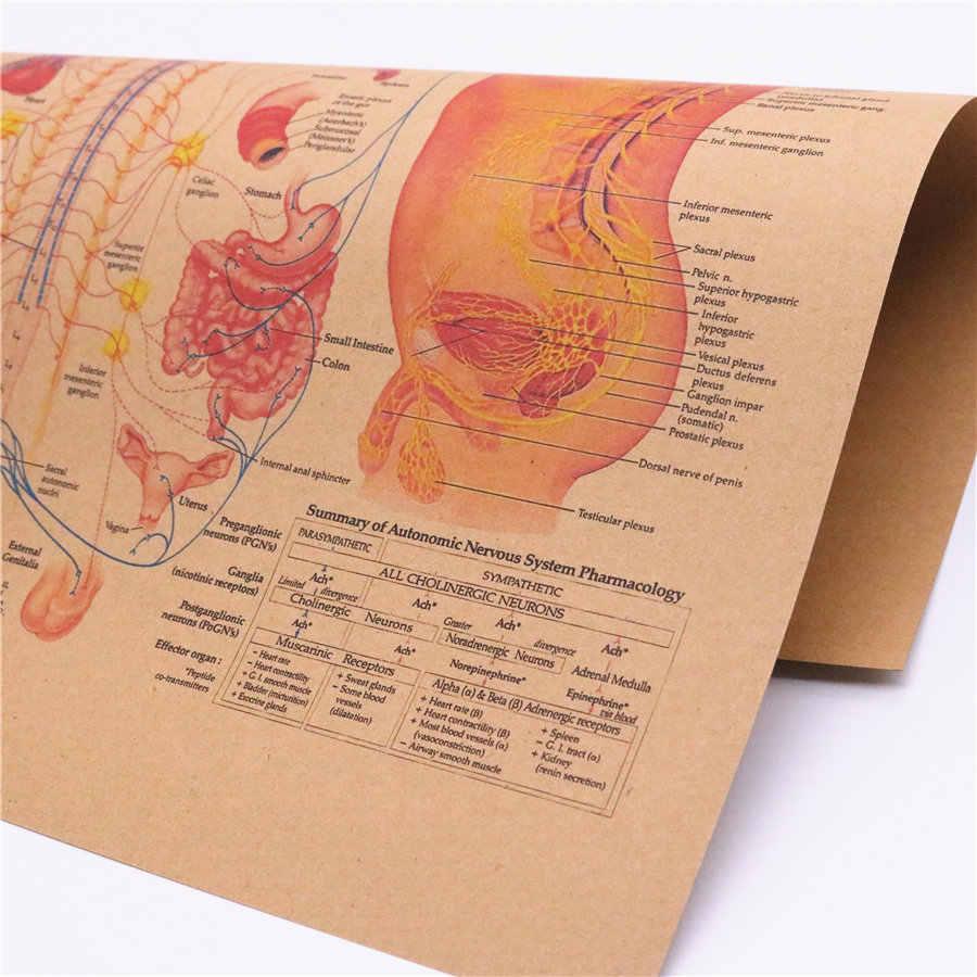 El Cuerpo Humano Estructura Del Sistema Nervioso Autónomo Diagrama Imagen Papel Kraft Clásico Poster 42x30cm Frd013