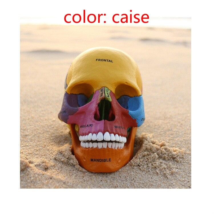 Human Colorful Anatomy Skull Brain Skeleton Anatomical Dental ...