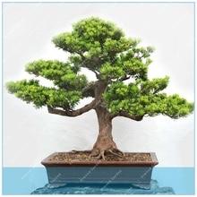 c053fa3e64 Galeria de bonsai podocarpus por Atacado - Compre Lotes de bonsai ...
