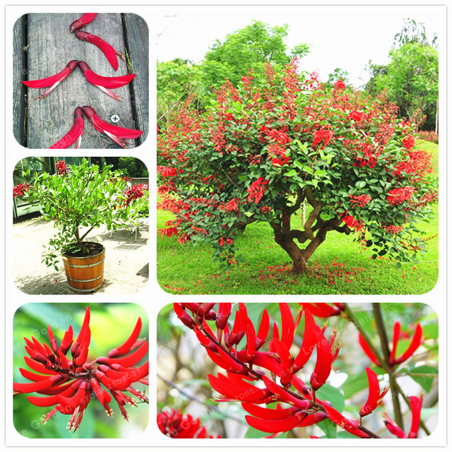 erythrina crista galli brazilian shrub seeds beautiful flower bonsai plant tree diy home garden 100 pcs