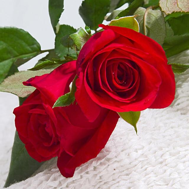 120 Unids Flor China Común Rosas Rojas Flor Semillas Jardín De Diy