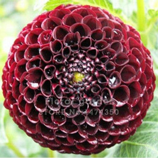 noir dahlia fleur-achetez des lots à petit prix noir dahlia fleur
