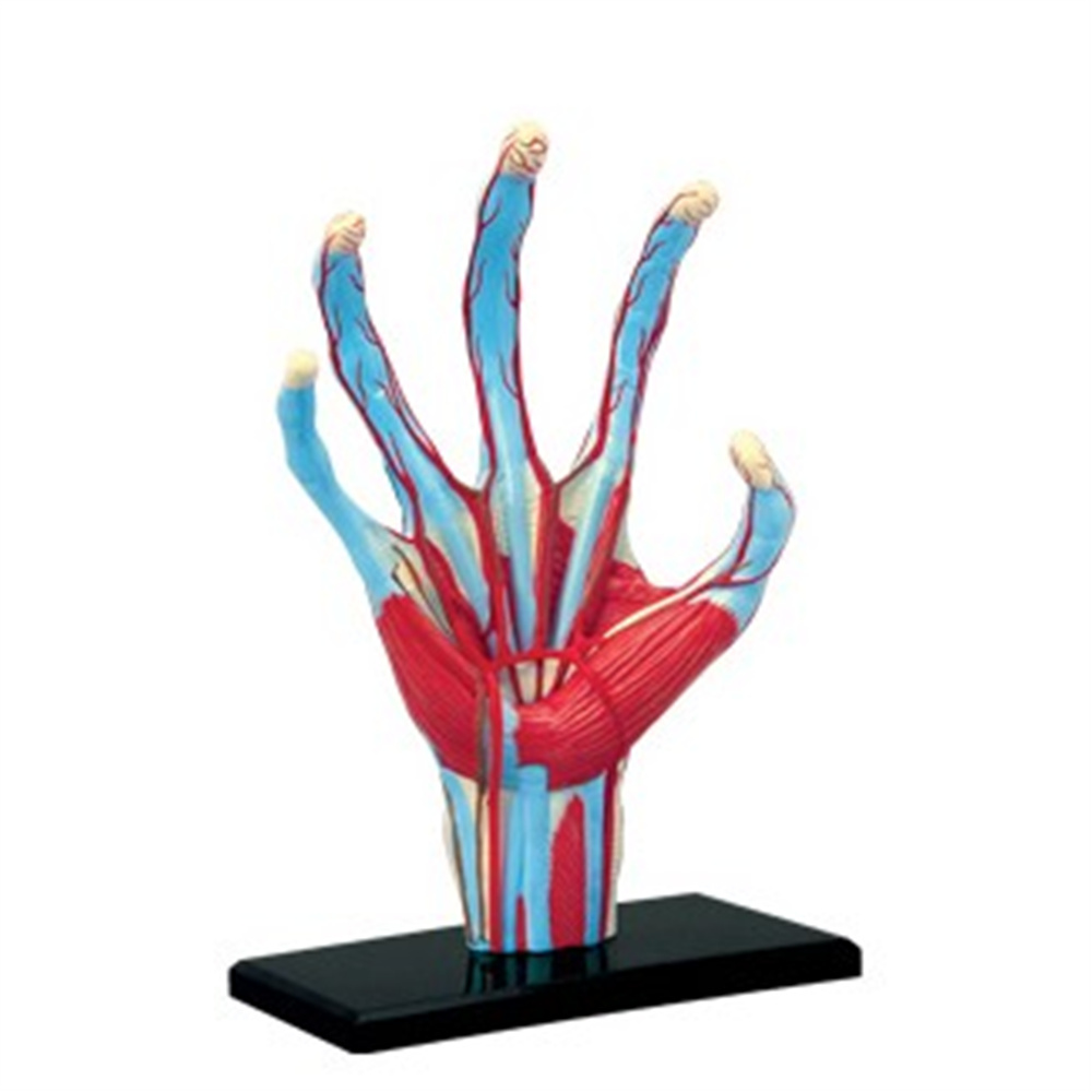 Mini Human Hand assembly model Assembled Human Anatomy Model Gift for ChildrenMini Human Hand assembly model Assembled Human Anatomy Model Gift for Children
