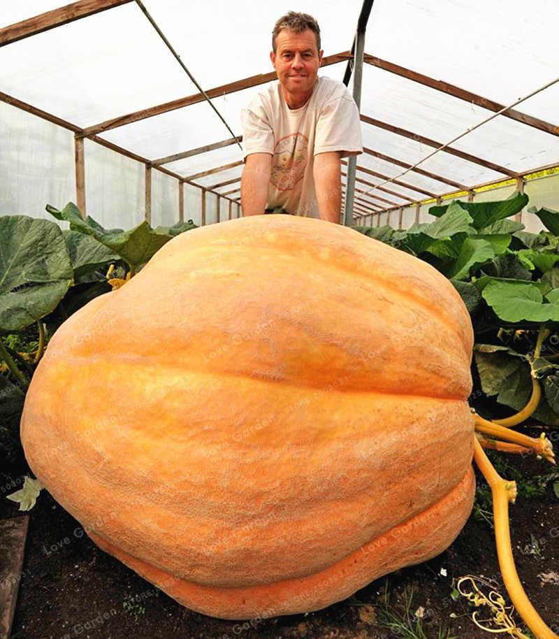 ฟักทองฮาโลวีน Bonsai ยักษ์ฟักทองอินทรีย์ผัก Nutrient - rich อาหาร NON-GMO เอดดัลไวส์พืชสวน 10 ชิ้น
