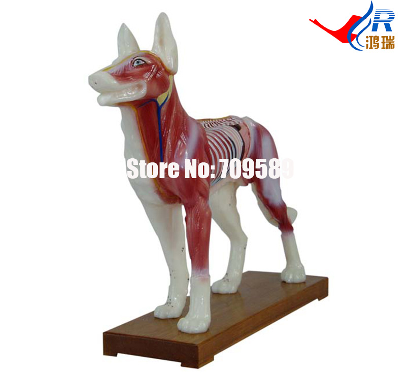 Dog Acupuncture Model, Animal Acupuncture Model 12005 cmam a05 dog acupuncture model animal acupuncture models for veterinarian s reference