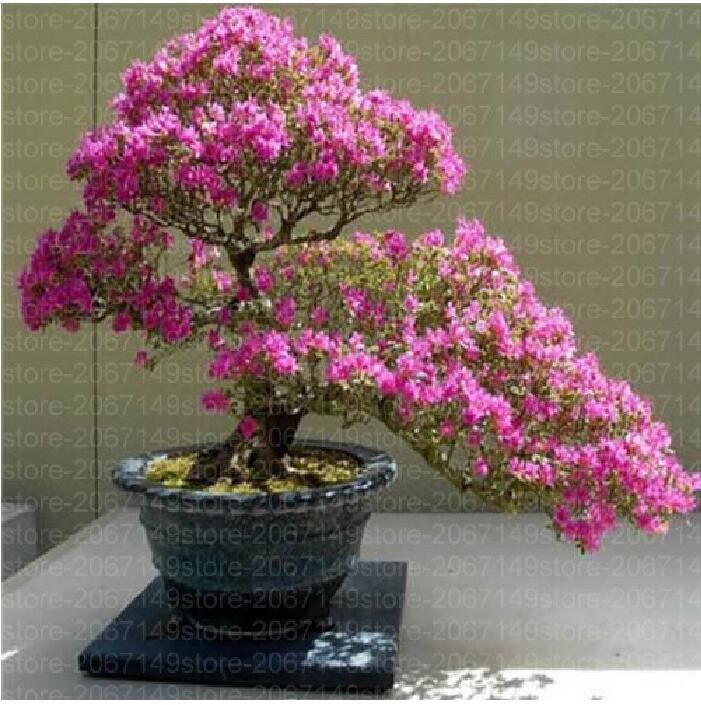 10pcs Sakura Seeds Growing Bonsai Tree Japanese Bonsai Chinese Home garden Gift girl