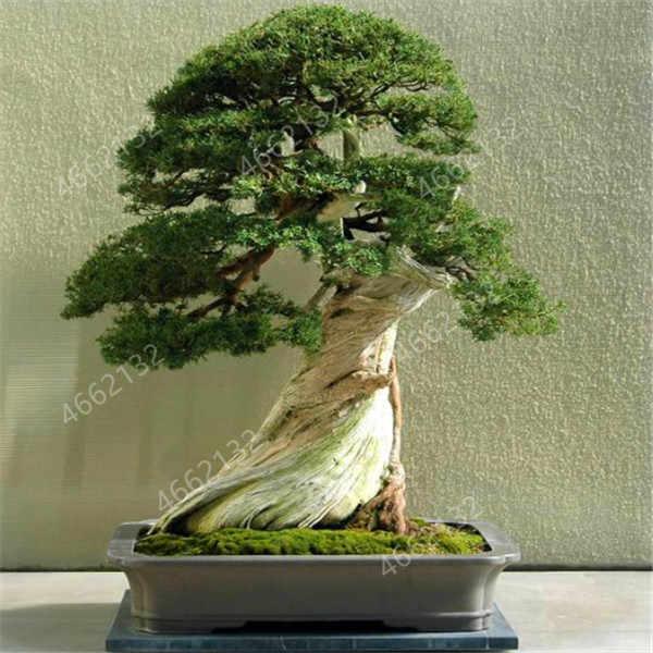 100 ชิ้น/ล็อต juniper ลูกดอกไม้กระถาง purify air ดูดซับก๊าซที่เป็นอันตราย DIY บ้านสวน, very easy to grow
