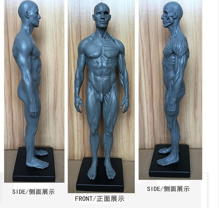 Dental lab Dentist 30/28cm height Human acupuncture Anatomical Anatomy Skull blood Sculpture Head body model Muscle Bone Artist