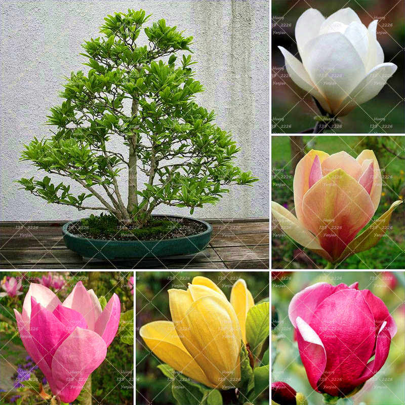 Detail Feedback Questions About 10pc Bonsai Magnolia Bonsai Plant