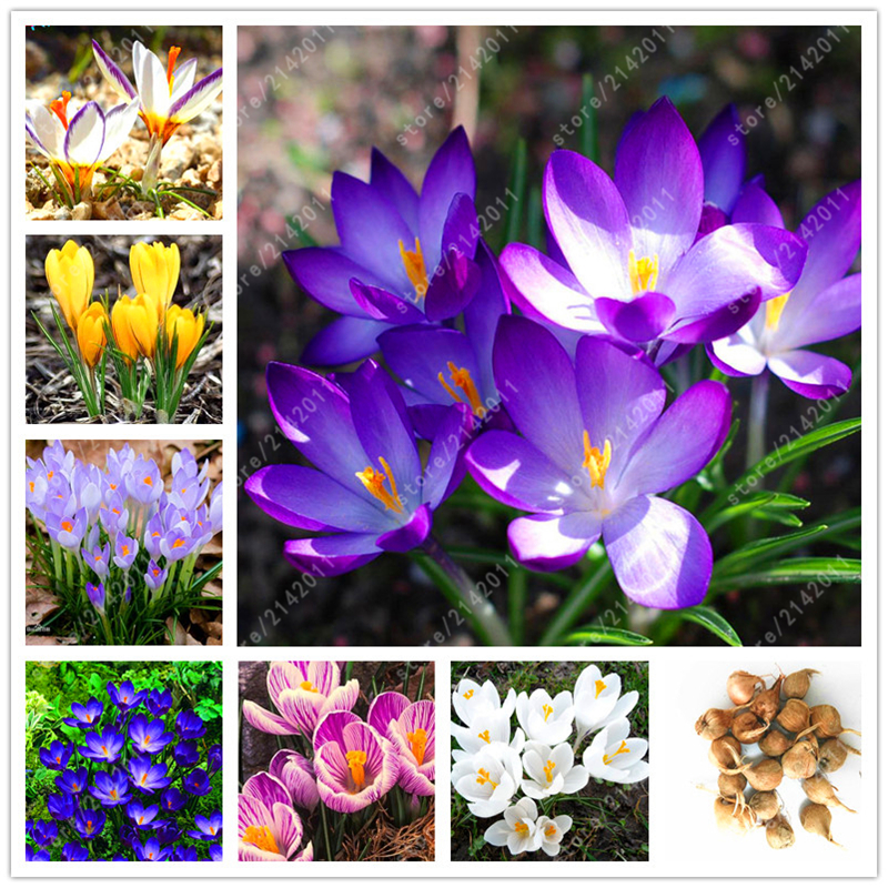 True crocus saffron bulbs not bulbs not saffron seeds bonsai flower bulbs in bloom all - Flowers that bloom all year round ...