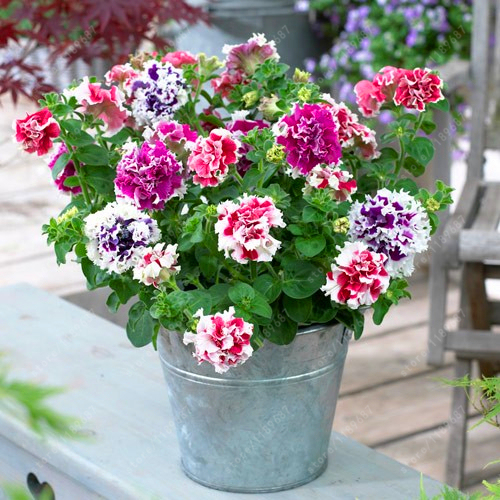 Petunia  Flower Seeds  Bonsai Plant For Home Garden Easy To Grow