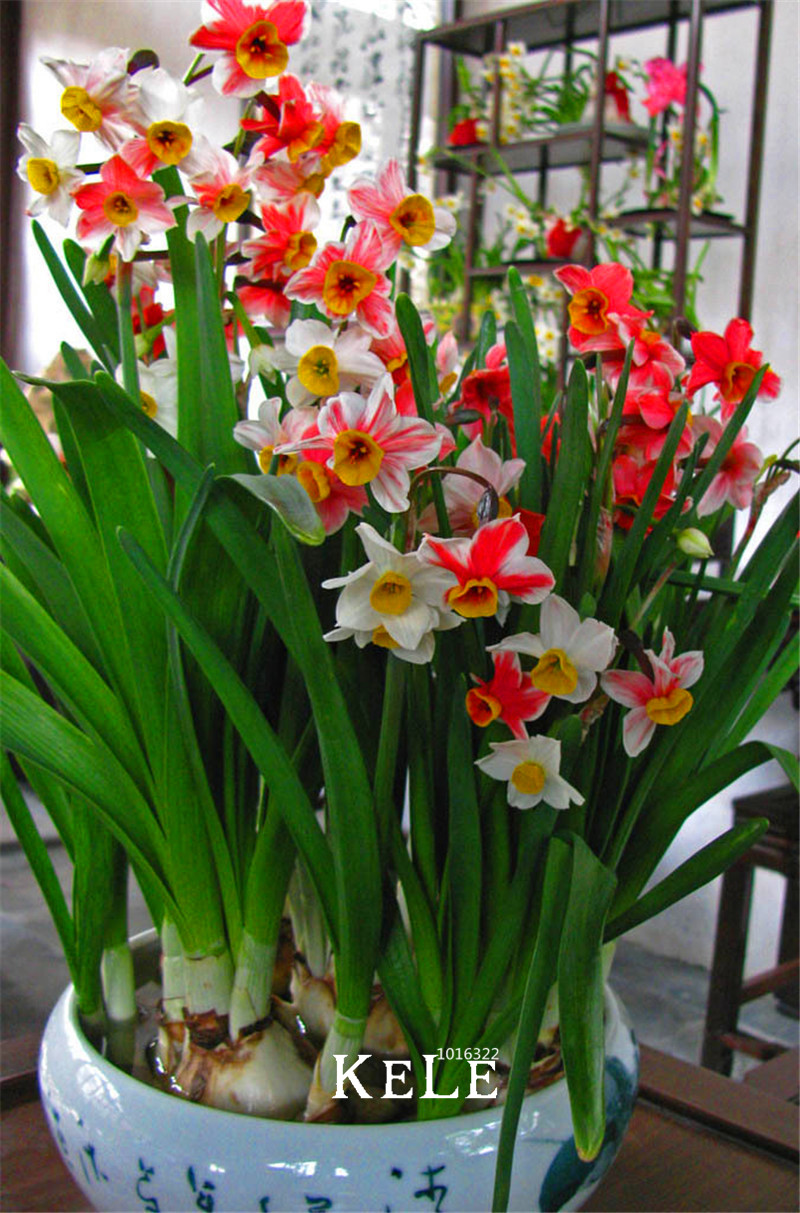 When how to plant daffodil bulbs -  Rare Rainbow Potted Flowering Plants Daffodil Seeds Absorption Radiation Narcissus Tazetta Seeds 100 Pcs Pack Ihqo