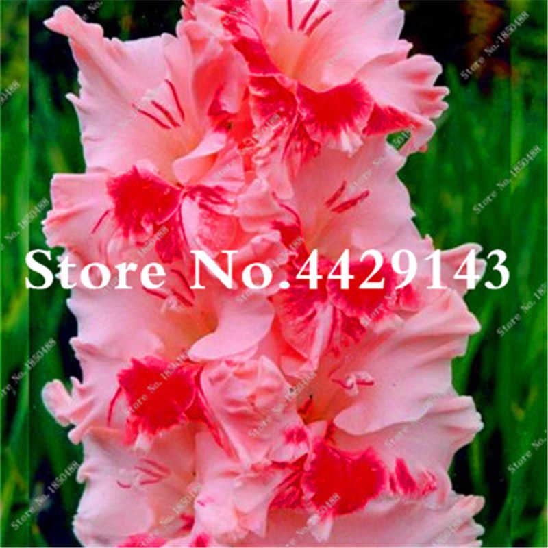 100 шт. многолетнее гладиолус бонсай цветок редко меч цветок лилии для дома и сада Jardin бонсай Diy завод Sementes