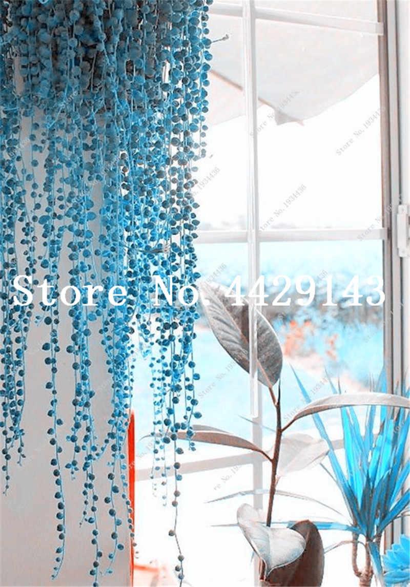 100 Pcs/bag Biru Mutiara Chlorophytum Bonsai Manik Taman Succulentas Bonsai Menyerap Formaldehid Pot Dalam Pemurnian Udara
