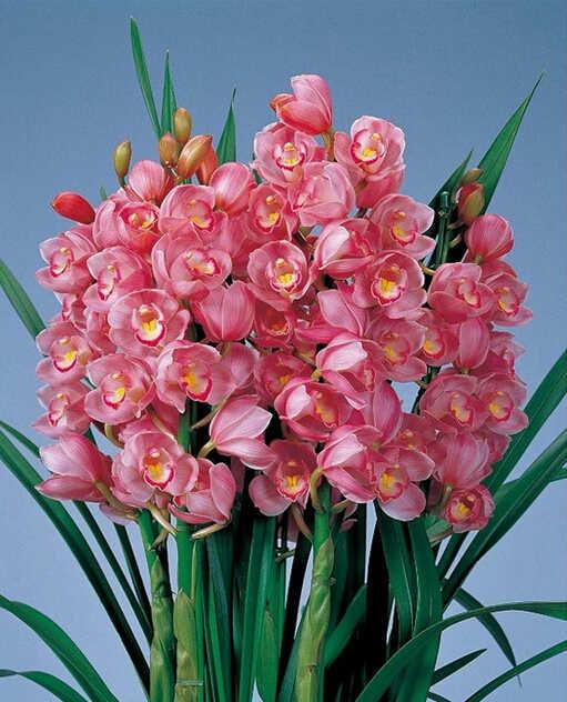 150 шт. 5 видов с китайским цимбидиумом растения бонсай цветочный сад бонсай орхидеи semente декоративные цветы Редкие