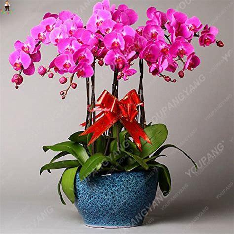 100 Pcs Rare Climbing Cymbidium Orchid Bonsai Blue Butterfly Orchid Phalaenopsis plants Ornamental Plants Garden Balcony Flower
