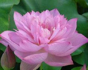 Pink flower seeds 35pslot lotus seeds all varieties nelumbo pink flower seeds 35pslot lotus seeds all varieties nelumbo nucifera chinese specialties dropship mightylinksfo