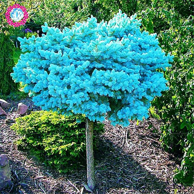 Small Ornamental Evergreen Trees: 50pcs/bag Blue Spruce Trees , Bonsai Blue Spruce , Picea