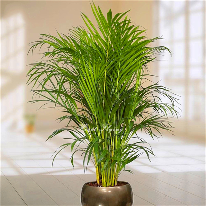 20 pcs Palm bamboo Seeds Lady Palm tree plant seed indoor Home ...