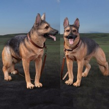 DID (AS003) 1/6 Working Dog Model German Shepherd dog Anime Statue for 12 inches Action Figure Accessories Collections