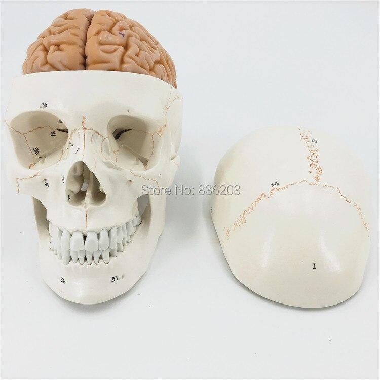 Menschlichen Lebens Größe Nummeriert Schädel Mit Brain Modell ...