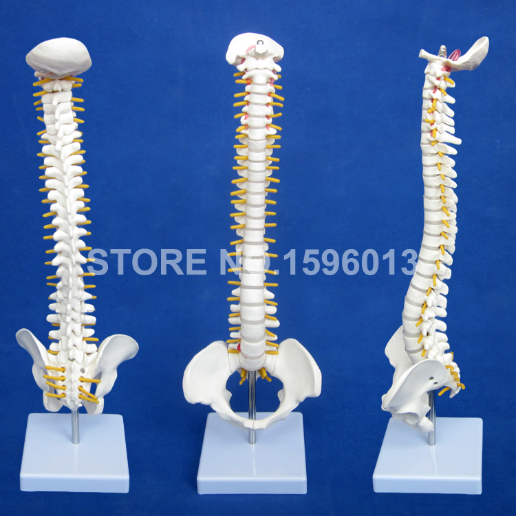 Vertebral Column with Pelvis Model,Vertebra Model, 40CM Spine Model vertebral column model with pelvis femur heads and sacrum 45cm spine model with intervertebral disc