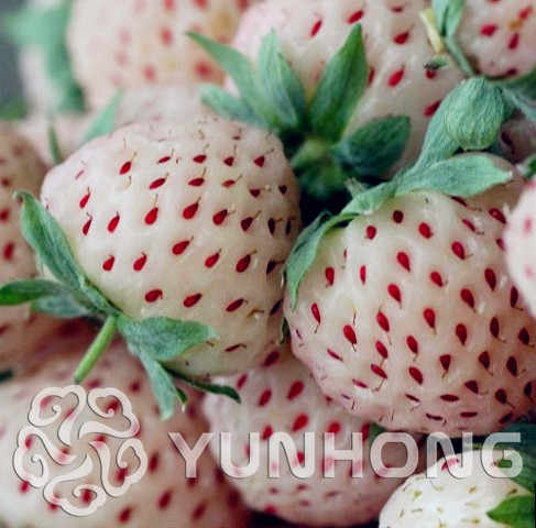 Pineberry Bonsai 500 Pcs Empat Musim Tanam Balkon Pot Taman Buah dan Sayuran Bonsai Pineberry Putih Buah Bonsai