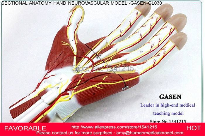 HAND SECTIONAL ANATOMY OF NERVES AND BLOOD VESSELS MODEL,PALM ANATOMICAL MODEL,HAND ANATOMY MODEL,ANATOMICAL MODEL-GASEN-GL030 iso detailed anatomical model of human head with vessels and nerves