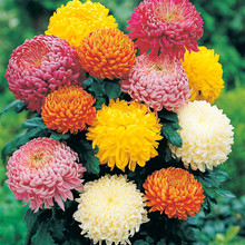 Free Shipping 30 Particles Novel Mixed Rainbow Color Chrysanthemum Seeds Bonsai Flower Home Gardening Plants Ornamental Daisy