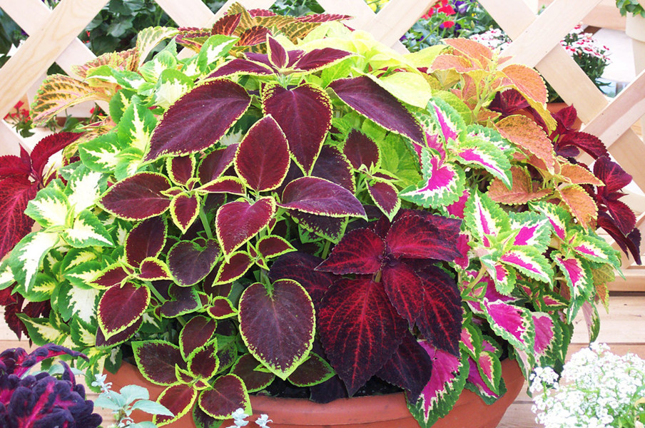 coleus flor vender por atacado coleus flor comprar por. Black Bedroom Furniture Sets. Home Design Ideas