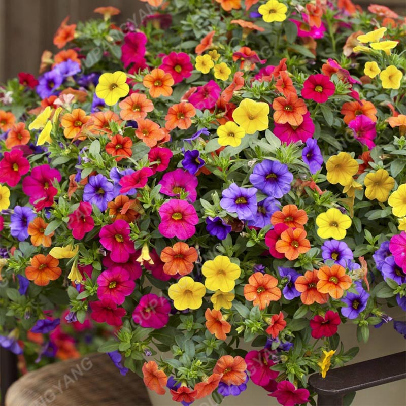 Big Promotion!!! 200+ Mixed Color Perennial Petunia Seeds In Bonsai Indoor Flower Seeds For Home Garden Bonsai Plant Decoration