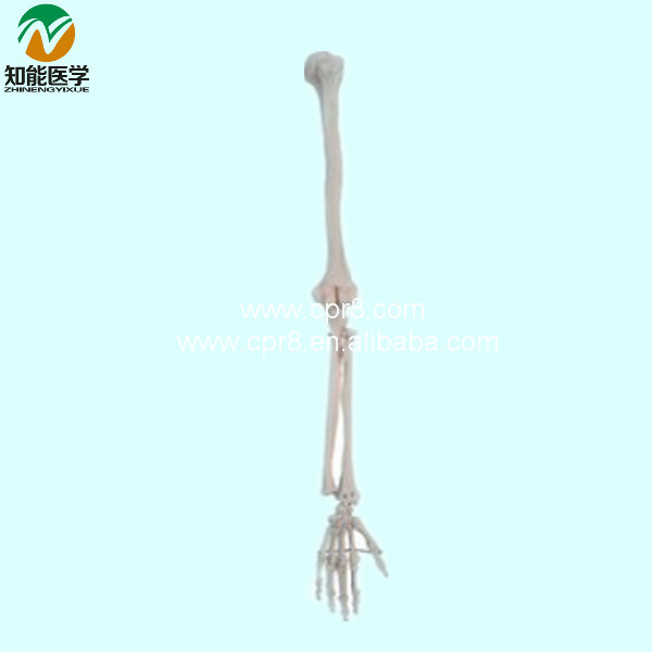 Life-Size Upper Limb Skeleton Model BIX-A1029 WBW423 plastic standing human skeleton life size for horror hunted house halloween decoration