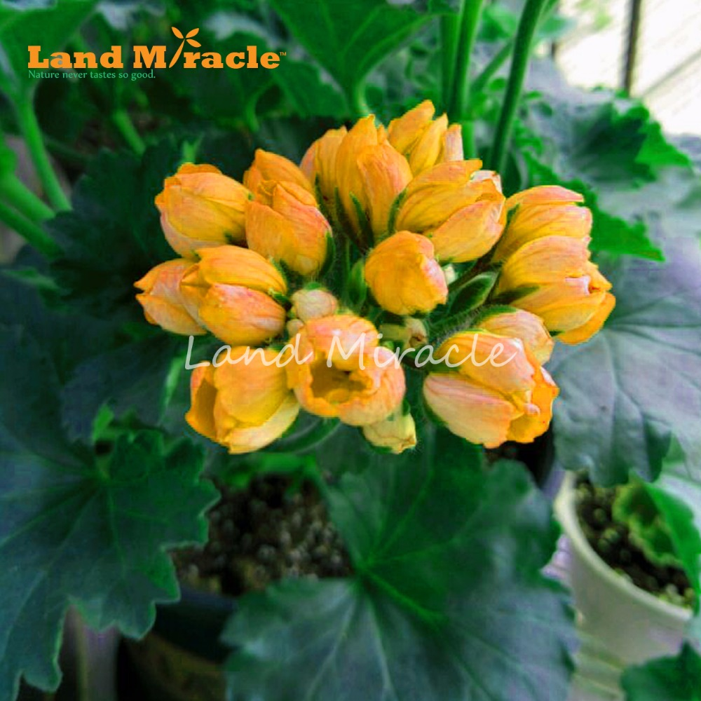 Land Miracle 5pcs Rare Yellow Geranium Perennial Flower Plant