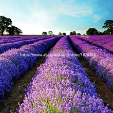 100 pcs / bag  Lavender Super Fragrant Organic Imported Flower plants Outdoor Potted Bonsai For Family garden plant B26