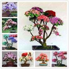 100 шт. азалии семена рододендрон азалия игги азалия бонсай цветок Выглядит Как Сакура Японская Вишня Цветет горшечные растения