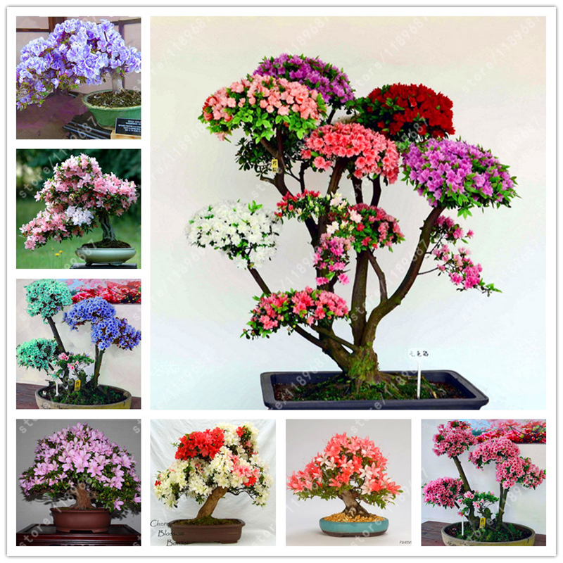 100pcs azalea seeds rhododendron azalea iggy azalea bonsai flower seeds Looks Like Sakura Japanese Cherry Blooms potted plants