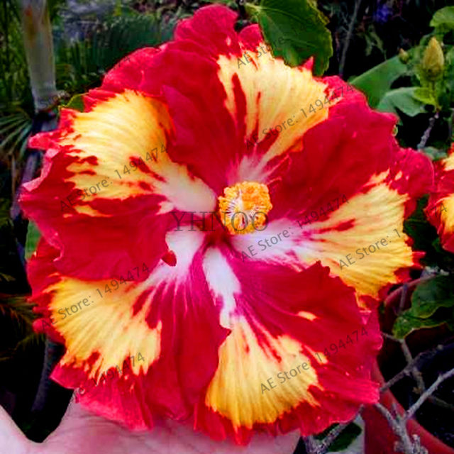 Online Shop 100pcs/bag24 colors giant hibiscus seeds Dinnerplate ...