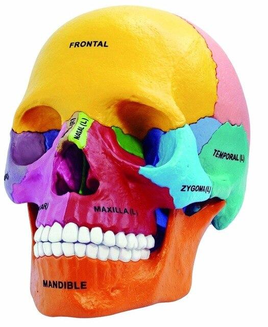 Laboratorio Dental golbe 4d maestro cabeza humana anatomía Médicos ...