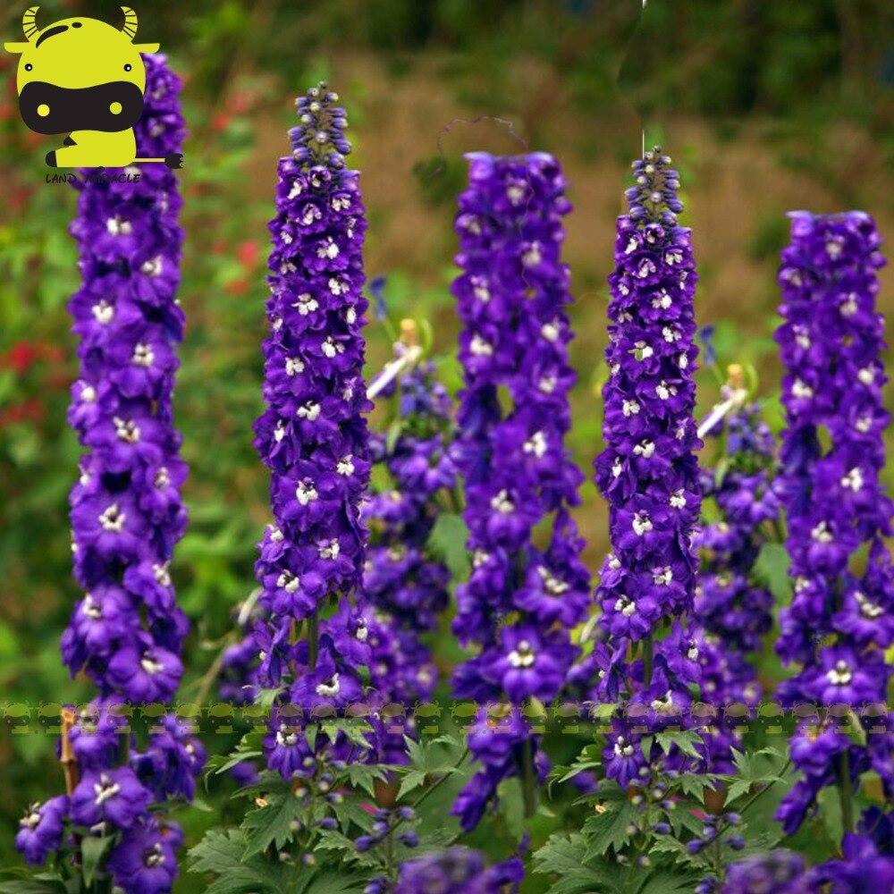 Rare Larkspur Purple Delphinium Flower Seeds 100 Seedspack