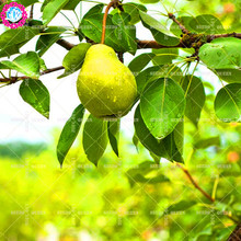 11.11 Big Promotion!30 pcs/lot pear tree seeds pear flower fruit seed potted in garden&home aweet perennial organic herb plant