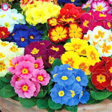 50pcs Mixed European Primrose Seeds Colorful Primula Bonsai Flower Seeds Blooming Plants Potted for Home Garden Best packaging